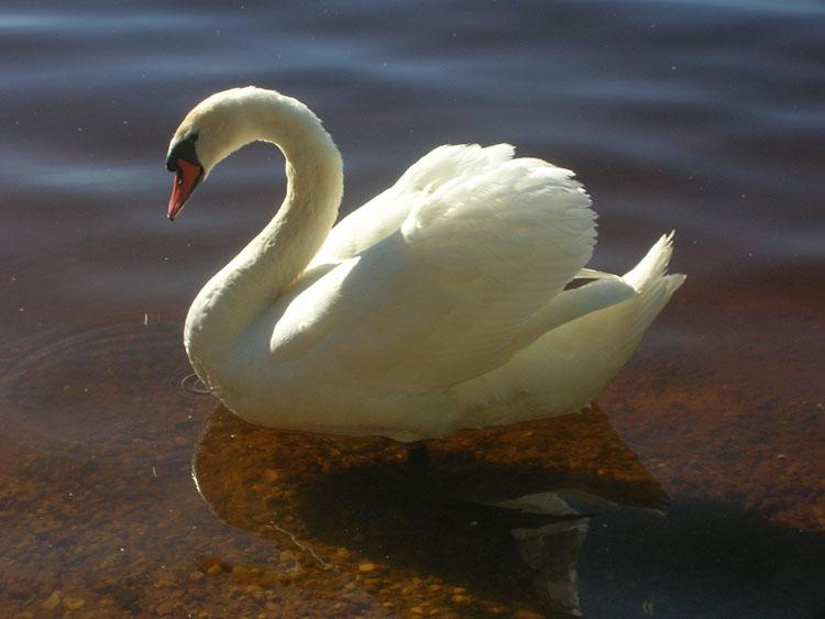 Лебедь - swan